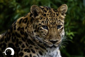 Leoparden-012